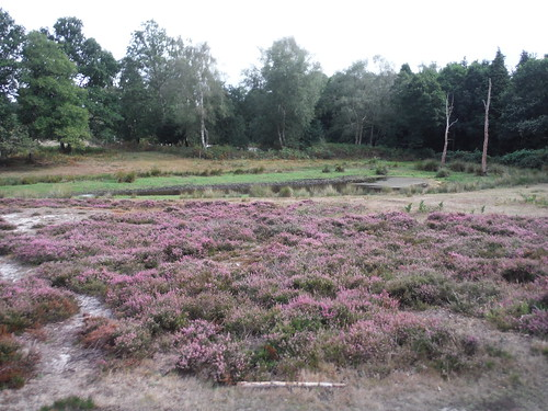 Heather in Bloom by Mire, Sutton Common SWC Walk 39 - Amberley to Pulborough