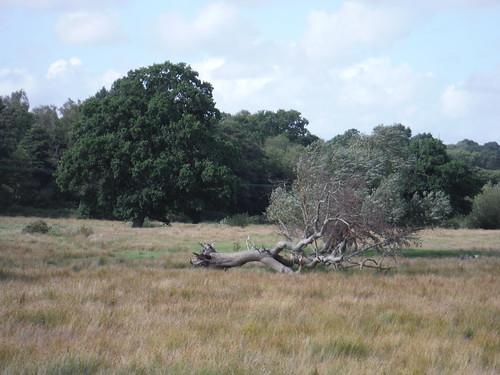 Tree in Field, by Keyzaston Farm, Sutton End SWC Walk 39 - Amberley to Pulborough