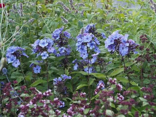 Plox paniculata 'Blue Paradise'
