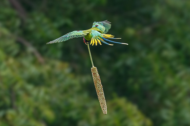 A Plum Headed parakeet carrying a Millet cob to the tree