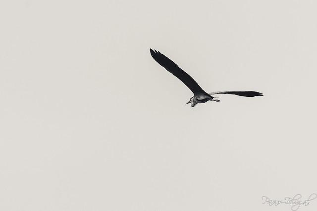Grey Heron - III (PB2_0260)