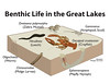 Benthic Life in the Great Lakes