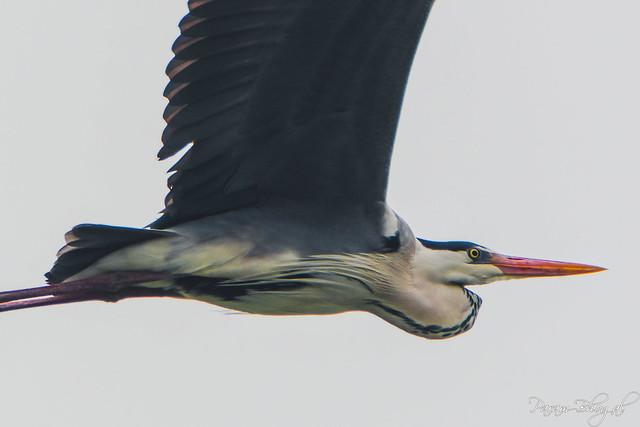 Grey Heron - I (PB2_0248)