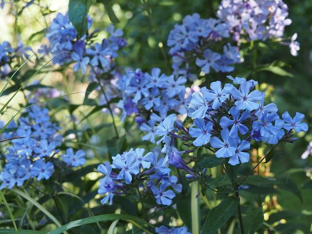 Plox paniculata 'Blue Evening'