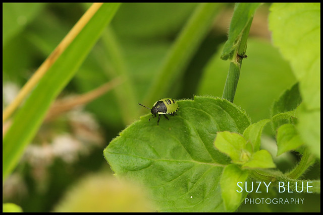 Common Green Shieldbug (2nd instar)