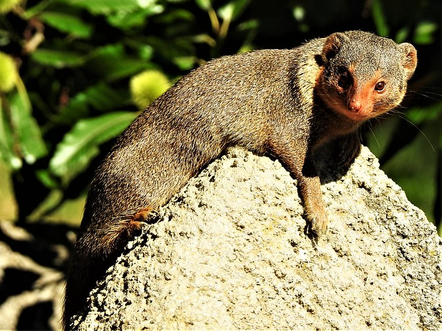 Pygmy mongooses Zwergmangusten  Herpestidae   DSCN5827