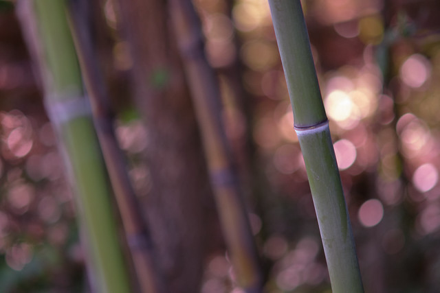 Bamboo, Study 2