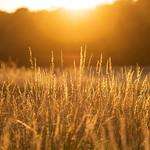 Grass, Trusseröd, Scania, July 17, 2020
