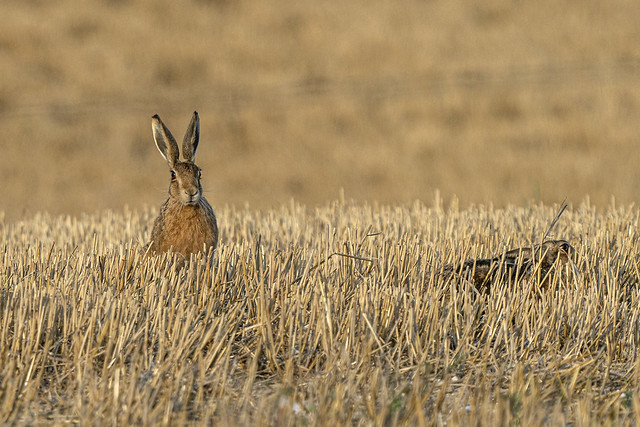 Two Hares, One Hiding