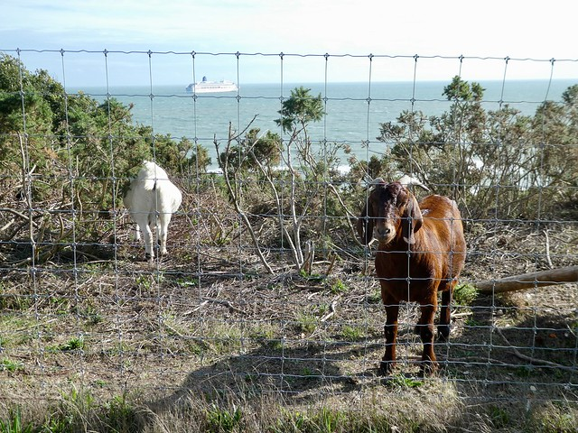 Feral goats on Bournemouth clifftop