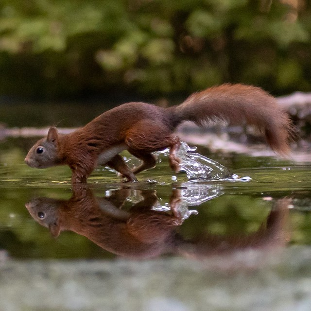 Squirrel running over water