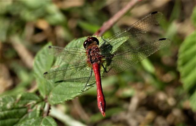 Ruddy Darter Dragonfly.Lumix DMC FZ1000.  P1280929.