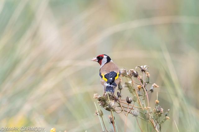 European Goldfinch/Lasair Choille (Carduelis carduelis)