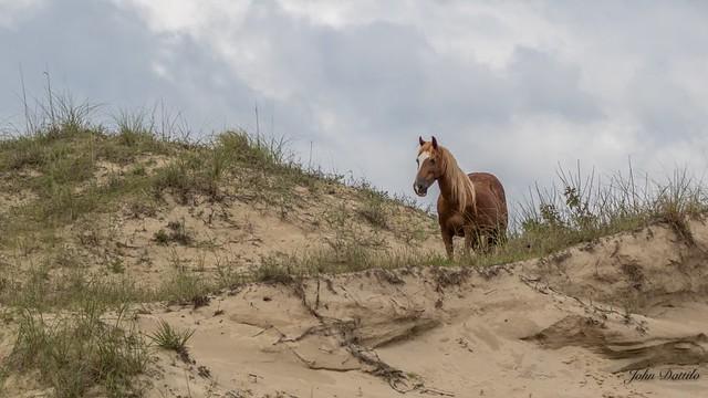 The wild horses of Corolla, North Carolina