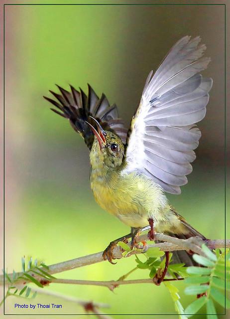 Olive-backed Sunbird ( Female )