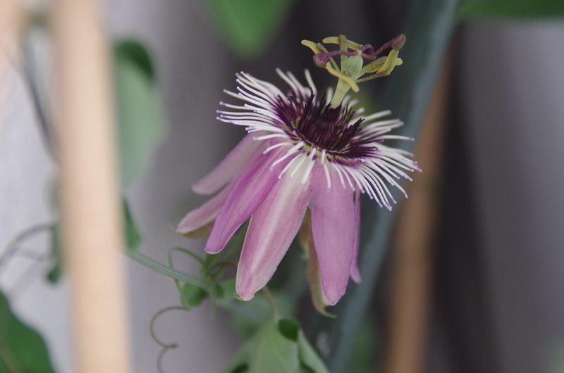 Passionsblume, Passiflora amethystina
