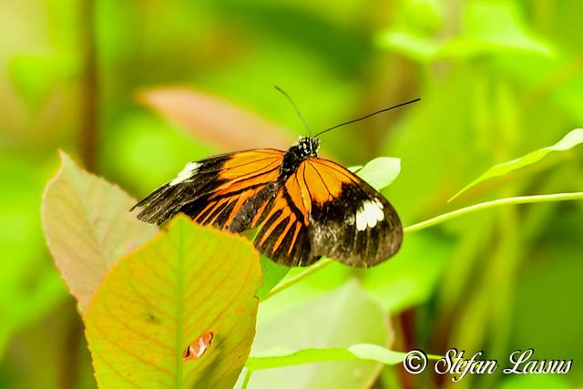 Heliconius melpomene / Postman butterfly