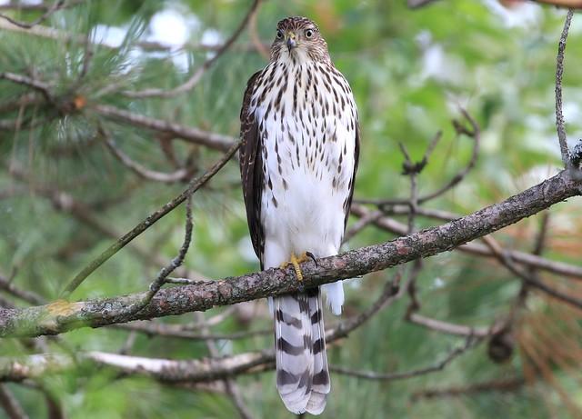 Cooper's Hawk juvenile / Épervier de Cooper juvénile