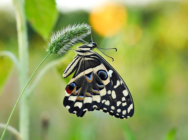 Papilio demodocus (Citrus Swallowtail)