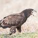 Immature Bald Eagle Calling Out
