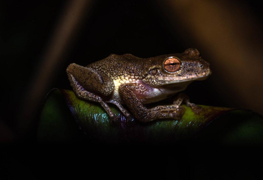 Eugenia's Rainfrog