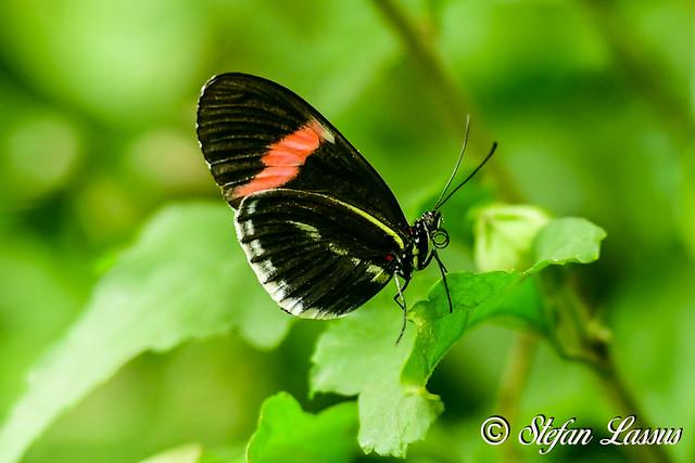 Melpomene Heliconius / Postman Butterfly