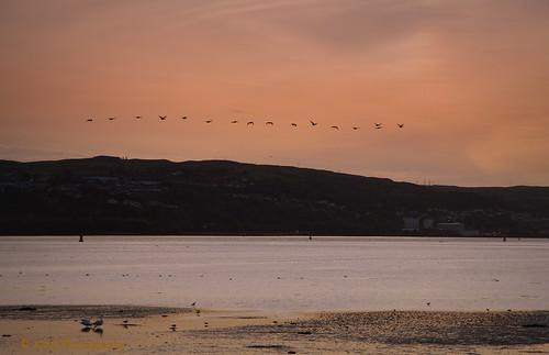dumbarton scotland flying flight evening sunset sky birds swans geese sea riverclyde shore sand hills trees buildings dusk dark outdoor colour texture art artwork