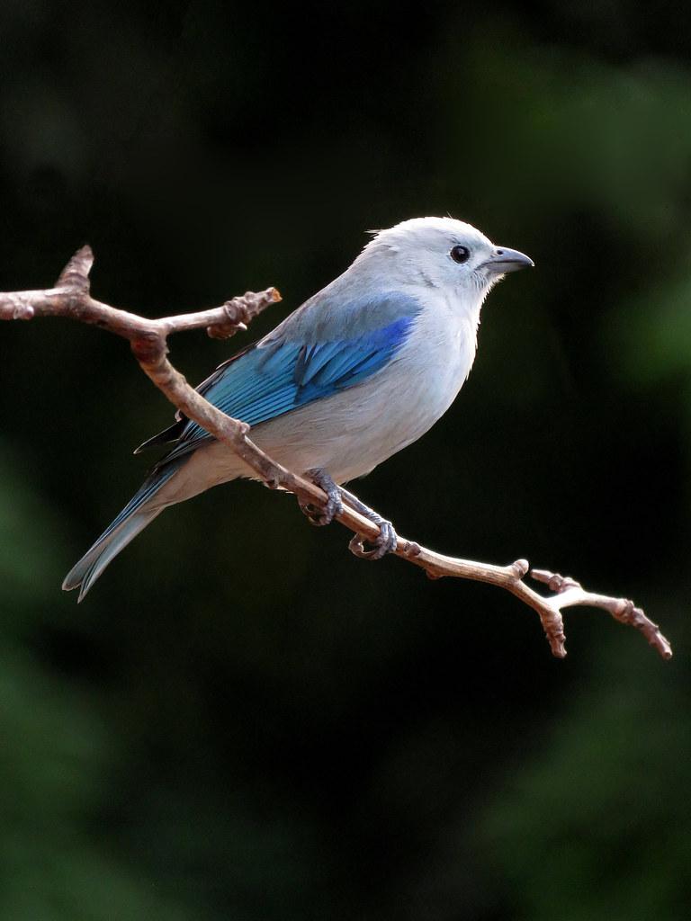 El Azulejo común es un ave sociable, activa y usualmente ruidosa. Convive en grupos que suelen ejercer la labor de vigilantes del sector que habitan razón que posiblemente inspiró su epíteto de episcopus que en latín significa Obispo.