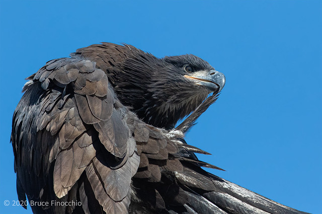 A Portrait Of A Young Juvenile Bald Eagle Preening A Wing Feather