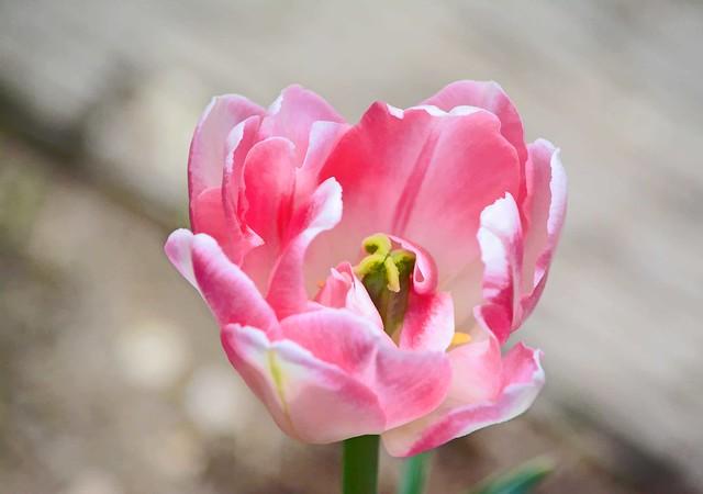 Life isn't a tiptoe through the tulips. ~~ Shannon Hoon
