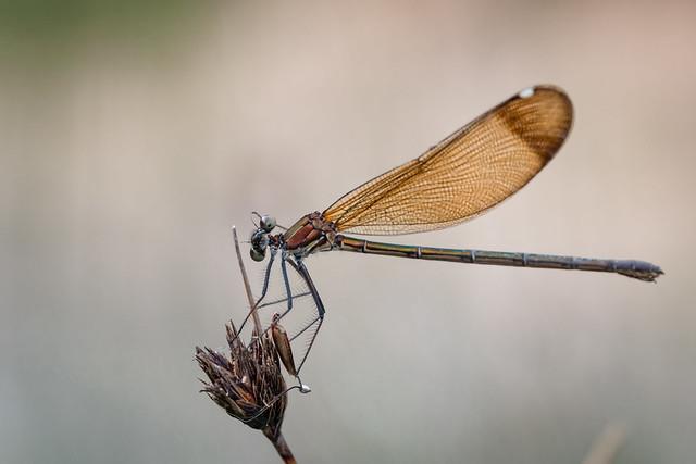 Mirando a cámara, Calopteryx haemorrhoidalis