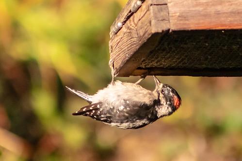 downywoodpecker picoidespubescens bird woodpecker oregon rainieroregon summer morning