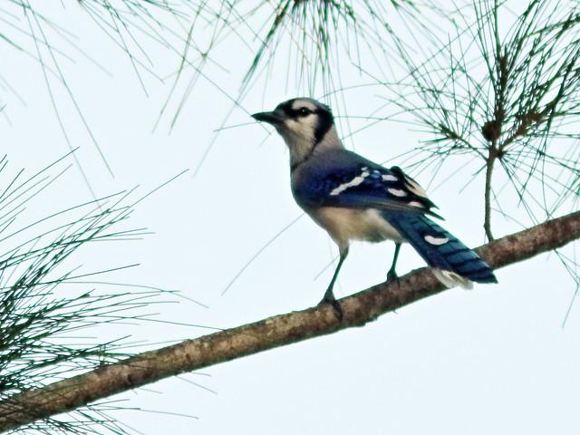 Blue Jay 20200825