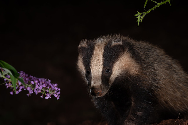 Badger cub through a clear patch of undergrowth