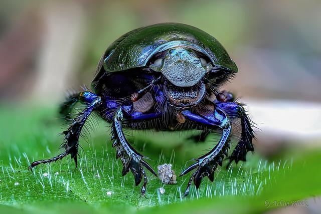 Dieser Waldmistkäfer (Anoplotrupes stercorosus) bewachte wohl seinen Schatz 😃