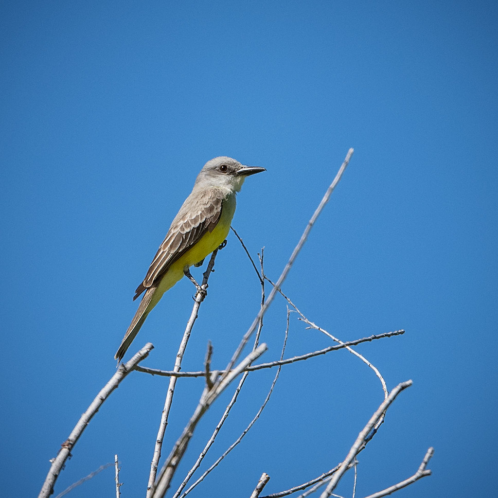 Tropical Kingbird 20190621_3677