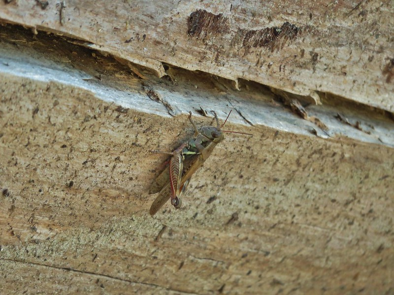 Grasshopper at Marie Lake