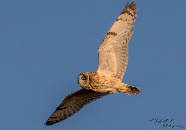 DSC3941  Short eared Owl..
