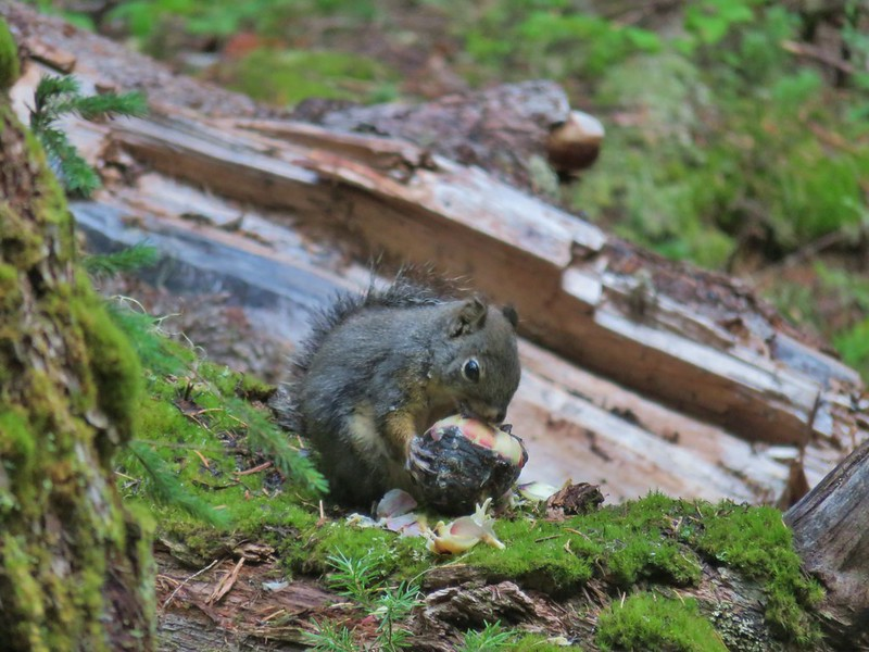 Squirrel with a cone