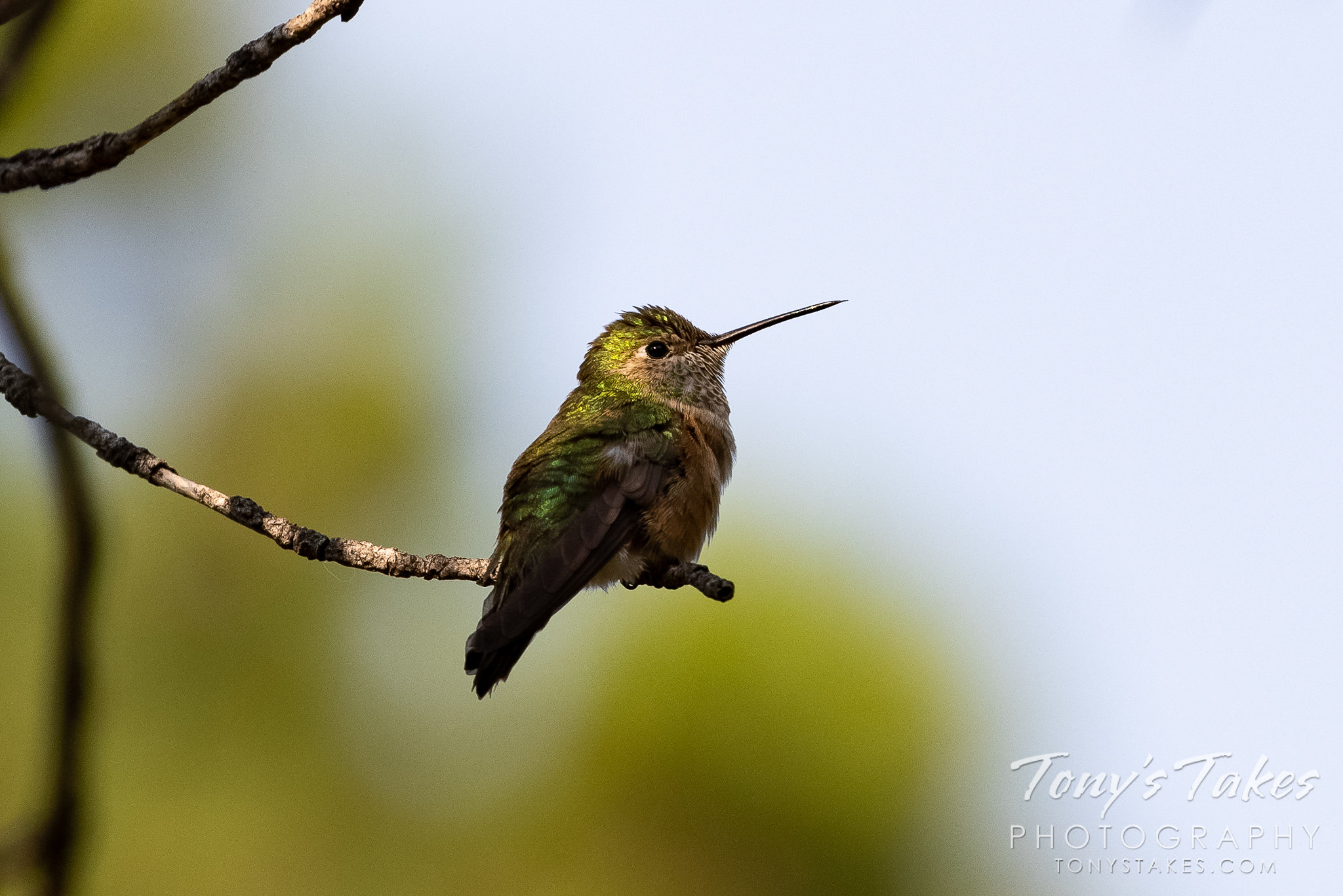 Beautiful broad-tailed hummingbird in dappled light