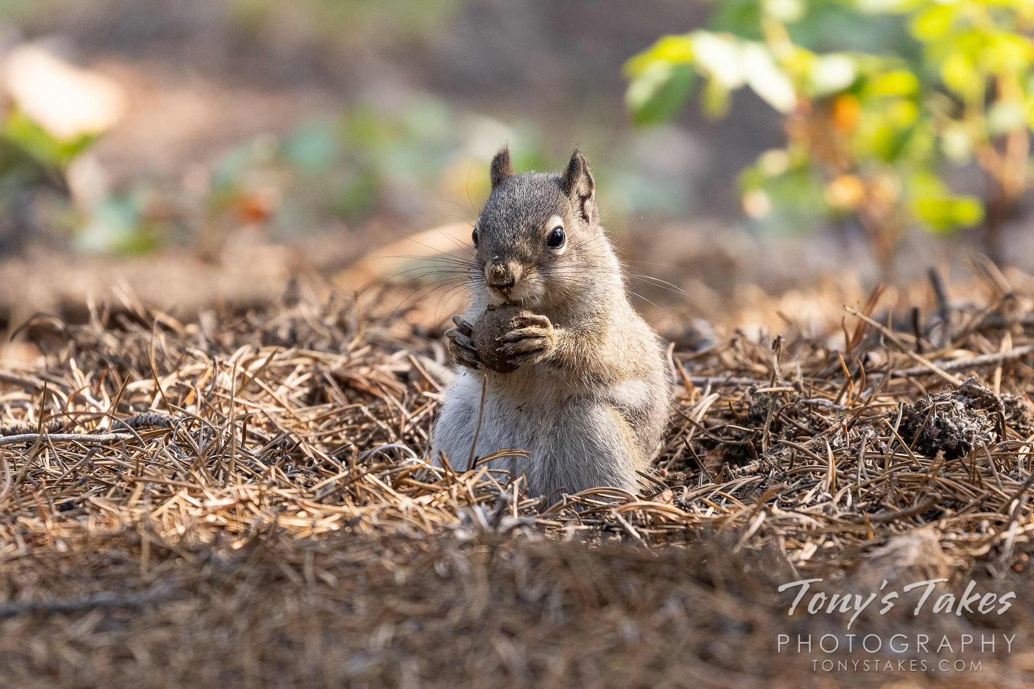 A squirrel hunts for a nut in the forest. (© Tony's Takes)