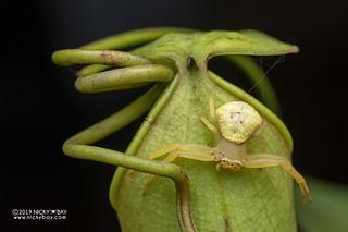 Pitcher plant crab spider (Thomisus nepenthiphilus) - DSC_1797