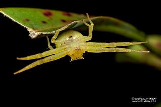 Pitcher plant crab spider (Thomisus nepenthiphilus) - DSC_1780