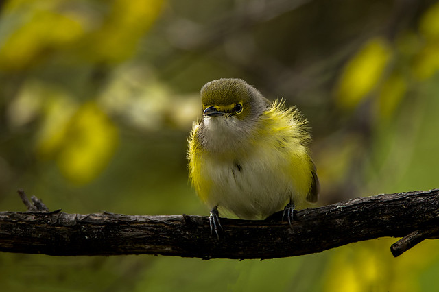 Vireo aux yeux blanc