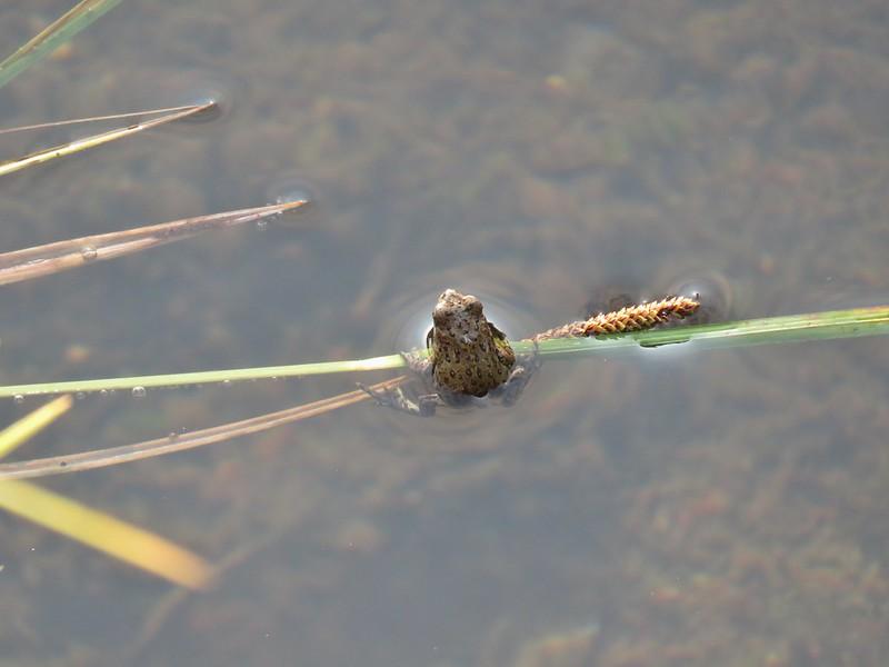 Frog in Blue Lake