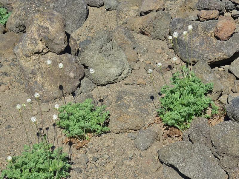 Drummond's anemone
