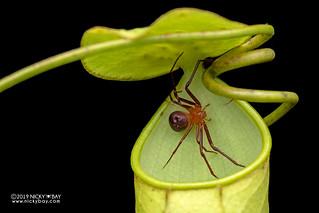 Pitcher plant crab spider (Misumenops nepenthicola) - DSC_1757