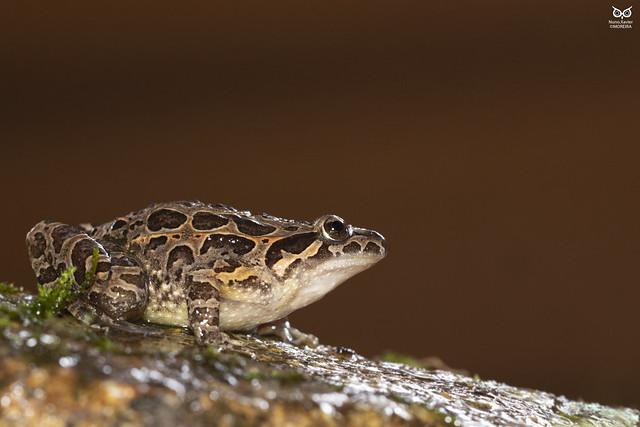Ra-de-focinho-pontiagudo, Iberian Painted Frog (Discoglossus galganoi)