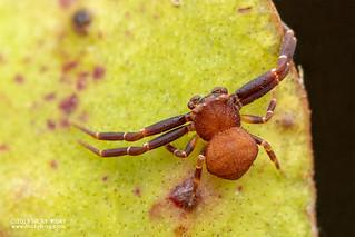 Pitcher plant crab spider (Thomisus nepenthiphilus) - DSC_1696