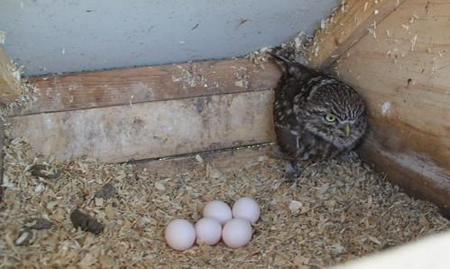 Inge 5 eieren